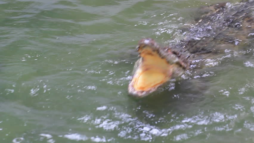 Siamese crocodile - HD stock video clip