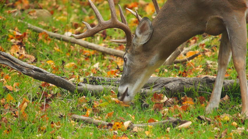 Whitetail Deer mature buck in October - HD stock video clip