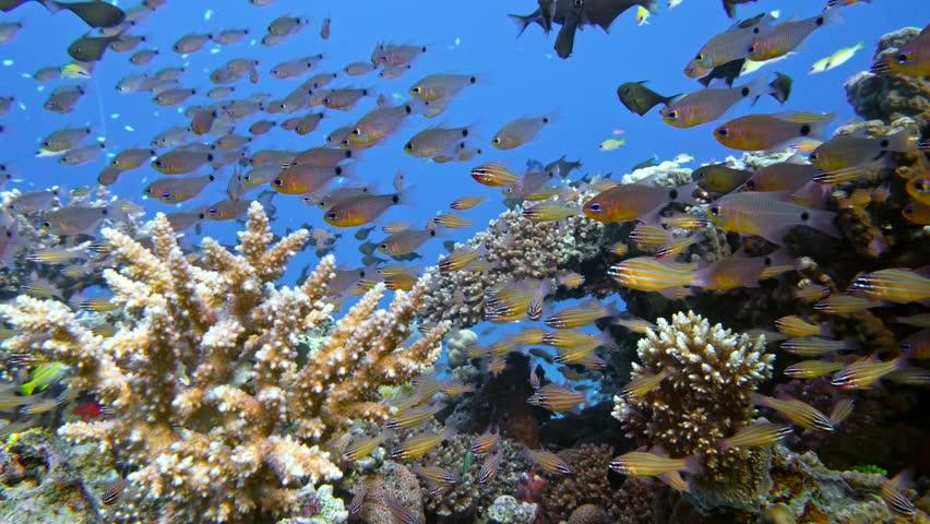 Slender cardinalfish (Rhabdamia gracilis) swimming underwater in Egypt. 4K | Shutterstock HD Video #29215714