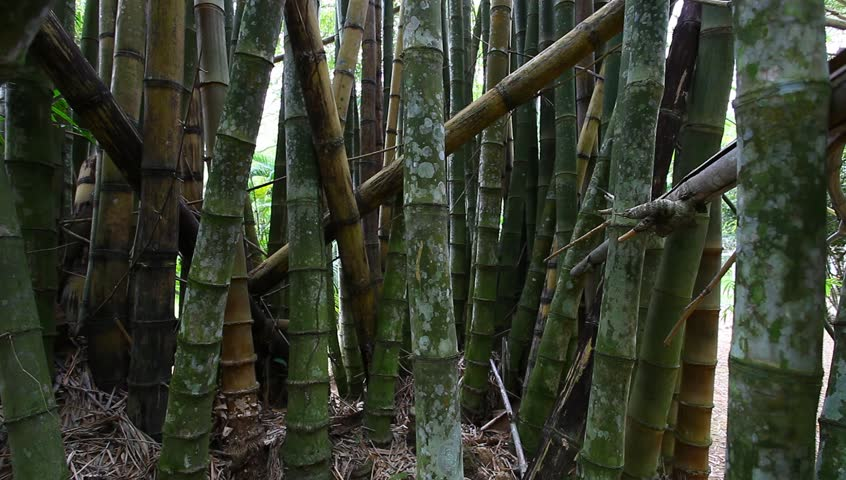 bamboo - HD stock video clip