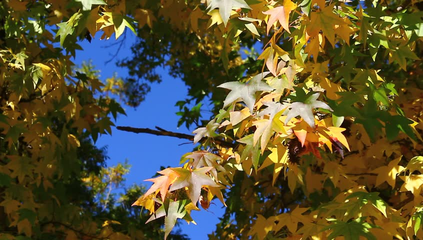 Autumn maple in the wind. - HD stock footage clip