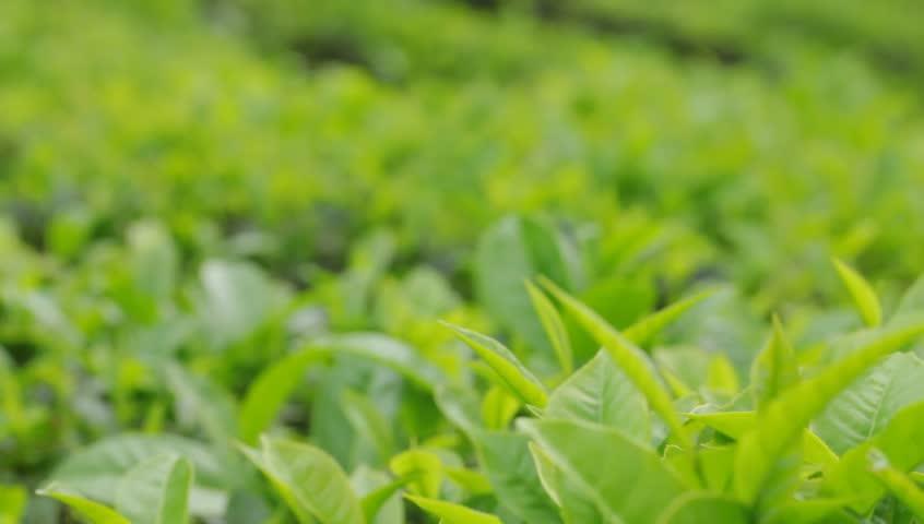 Green tea bud and fresh leaves. Tea plantations.  - HD stock video clip