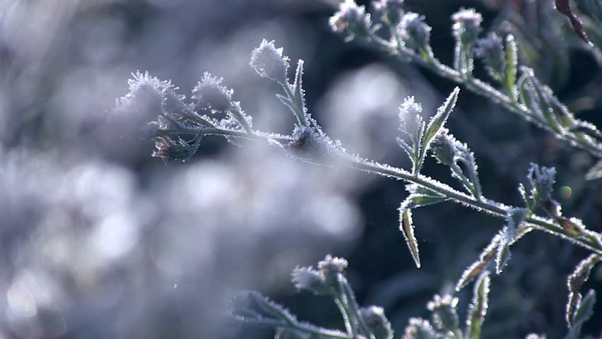 Close up rack focus of frosty plants. | Shutterstock HD Video #2990956