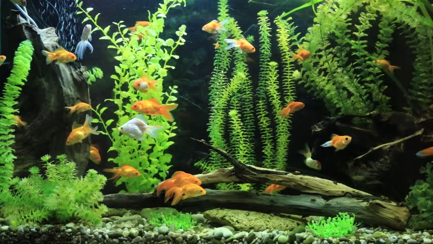 A Green Beautiful Planted Tropical Freshwater Aquarium