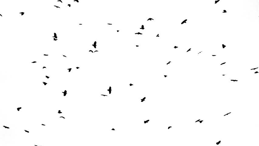 crow gathering