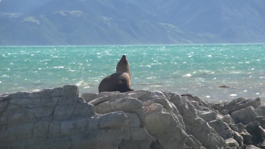 Kaikoura, New Zealand October 2012. Seal sunbathing on rock in the seal colony