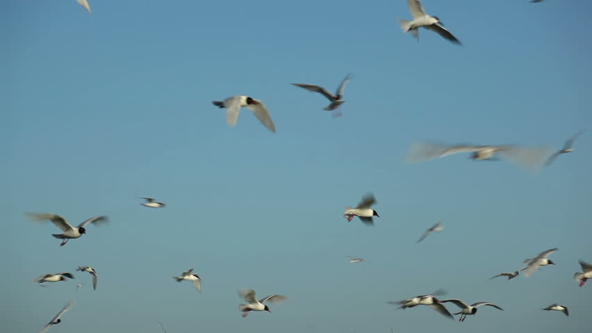 Hundreds of birds flying in the blue sky 5 | Shutterstock HD Video #3017254