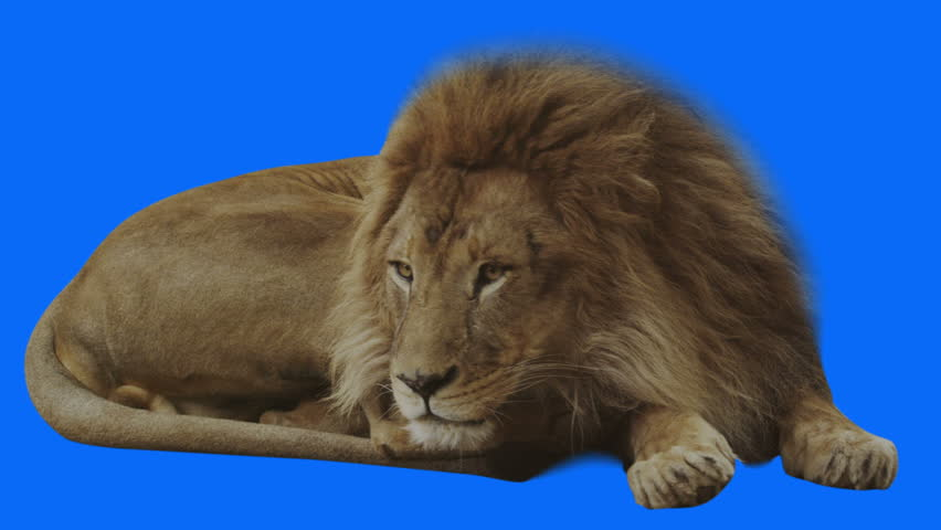 Lion changing hands while resting. Blue screen and alpha channel included. Shot 4k with red camera. | Shutterstock HD Video #3088705