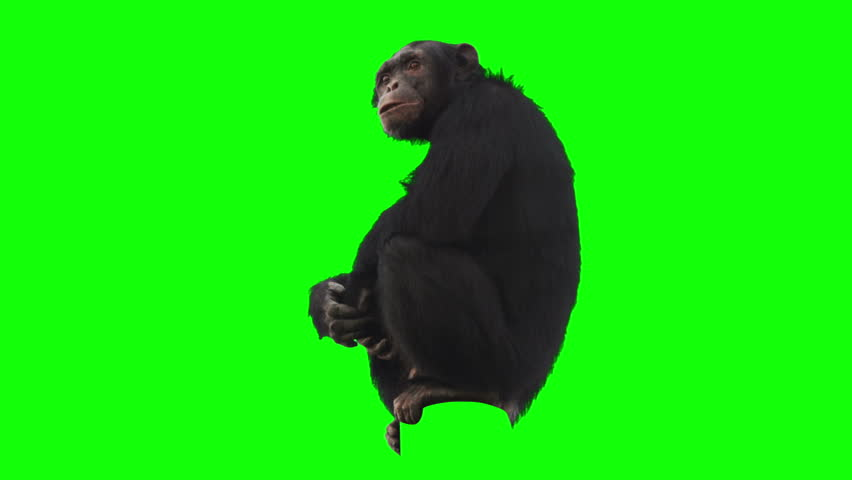 Monkey on green screen looking around. Alpha channel included. Shot with 4k red camera.  | Shutterstock HD Video #3089443