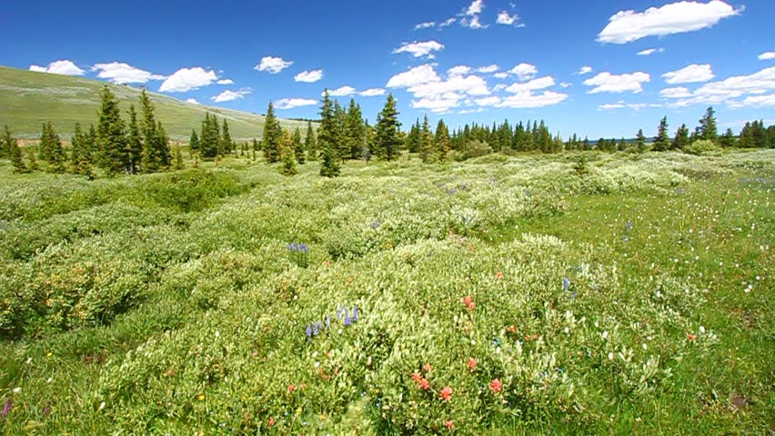 Wildflowers on a breezy day in the Bighorn National Forest of Wyoming | Shutterstock HD Video #3091720