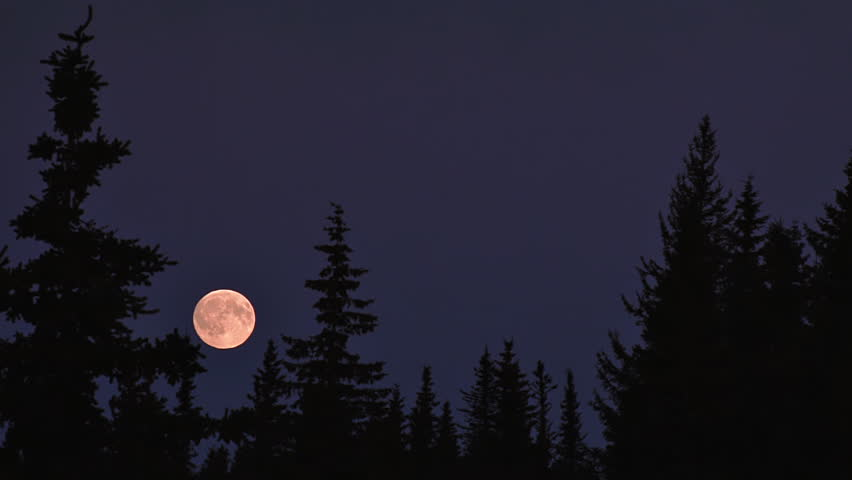 Full moon rising, becomes partially obscured by a spruce tree. Early evening
