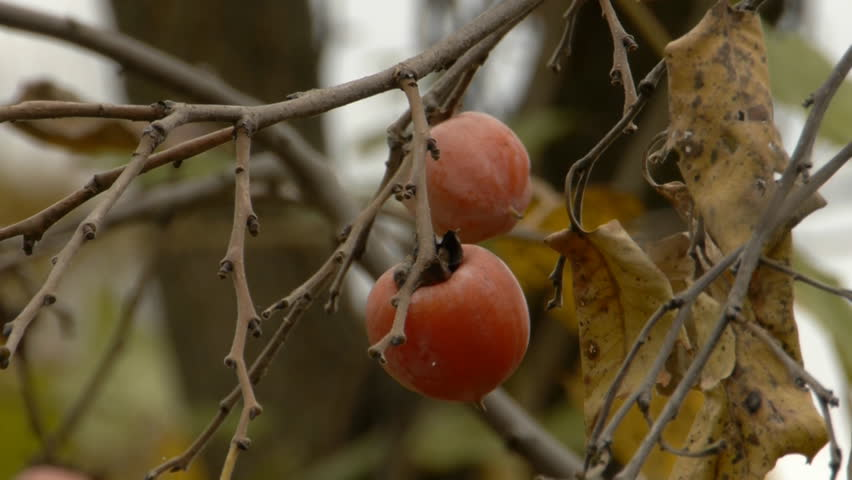 Header of American Persimmon