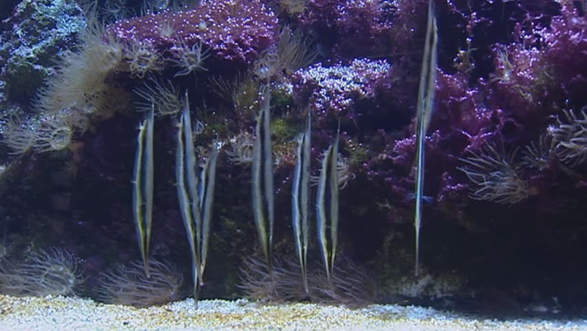 Header of Aeoliscus strigatus