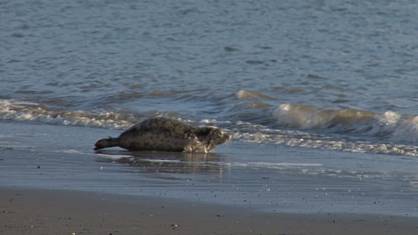 Two Rehabilitated Seals Entering Water