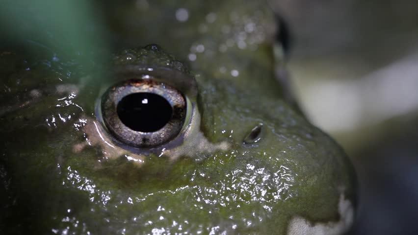 African bullfrog (Pyxicerhalus Adspersus)  | Shutterstock HD Video #3131770