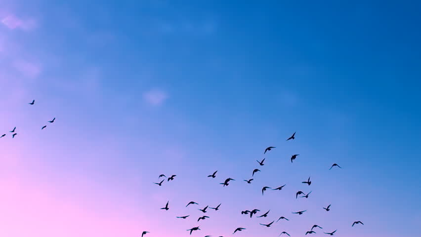Birds Flying Stock Footage Video - Shutterstock
