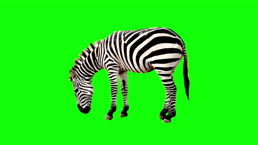 Zebra chroma key | Shutterstock HD Video #3214525