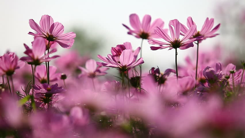 Field of pink flowers - HD stock video clip