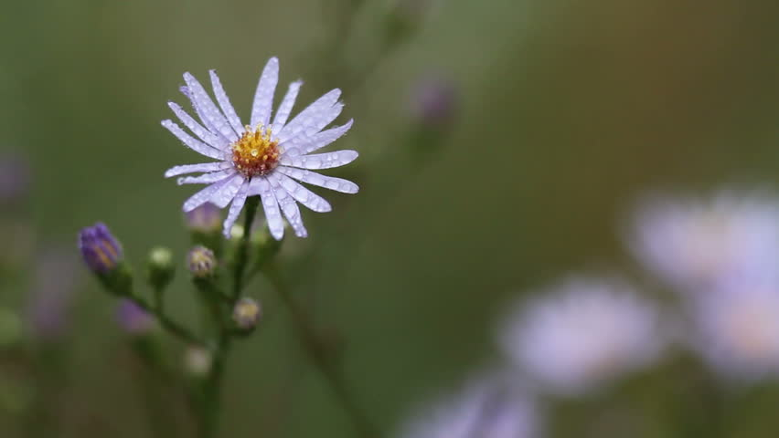 Asters in prairie, Hyland Park Preserve, Bloomington, MN - HD stock footage clip