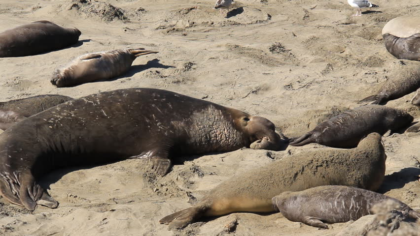 Elephant Seal Bulls, Pups and Mothers on a beach. Covering themselves in sand.