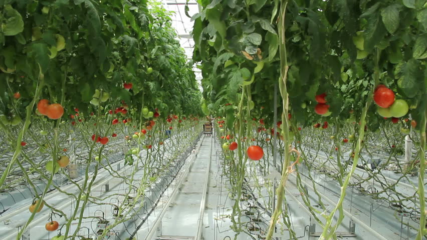 tomatoes in the greenhouse (3 shots) - HD stock footage clip