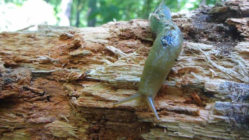Large Oregon banana slug crawls over wood. - HD stock video clip
