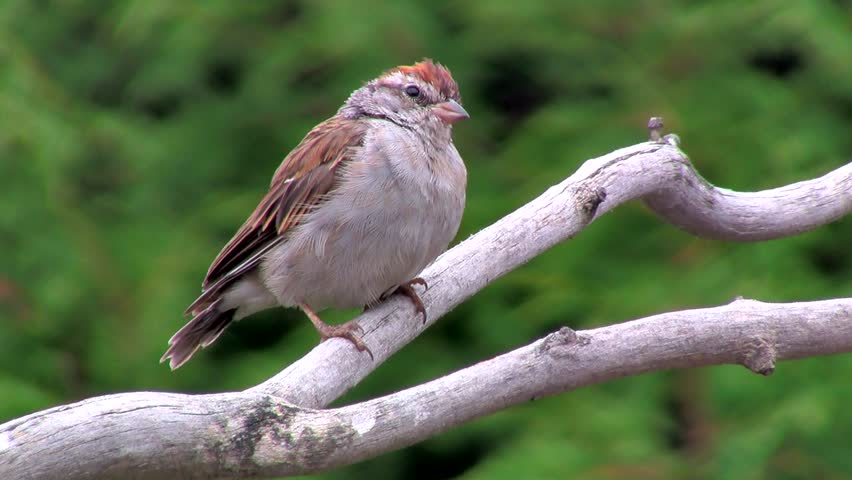 Header of American Tree Sparrow