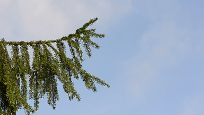 speed up fast view fir tree branch move in wind closeup on background of cloud fly in sky. - HD stock footage clip