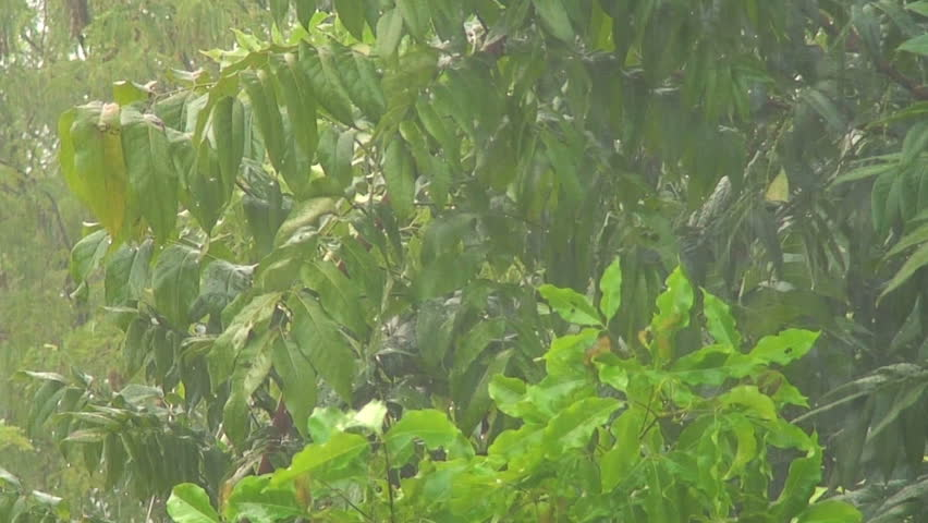 Heavy rainfall with mahogany trees in the background - HD stock footage clip