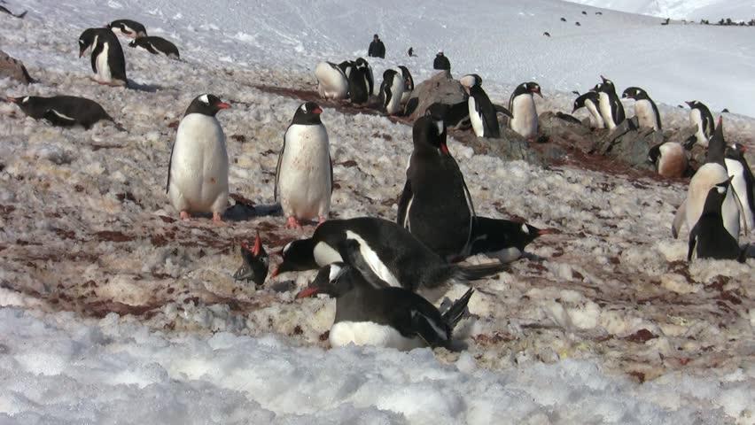 Gentoo Penguin, Antarctica