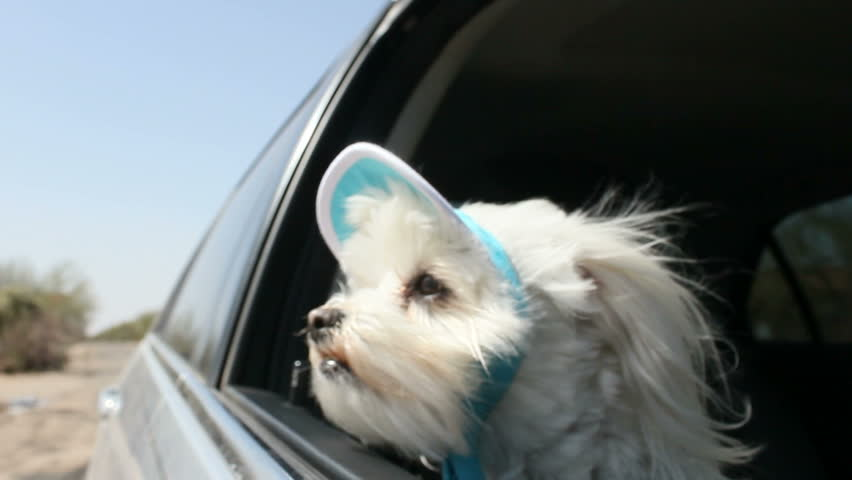 Adorable Maltese dog wears her finest bonnet, sticks her head out the window, lets the wind blow her fur, happy to be in a car on an outing.