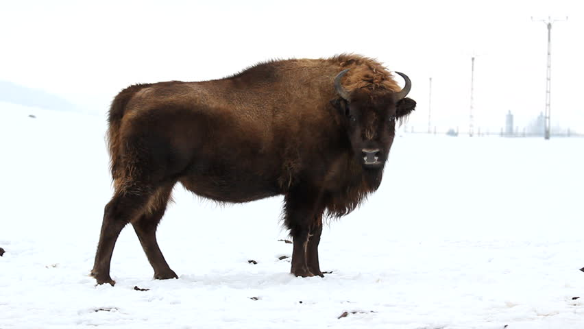 Group of bisons walking together on the snow