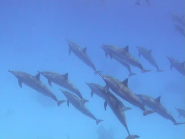 Dolphins gliding beautifully through the clear Turquoise waters of the Red Sea - SD stock footage clip