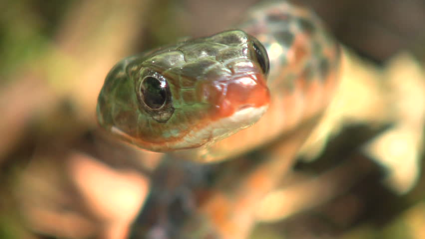 Rusty whipsnake (Chironius scurrulus) protruding its tongue - HD stock footage clip