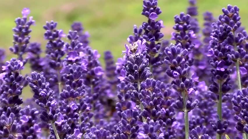 Lavender - HD stock video clip