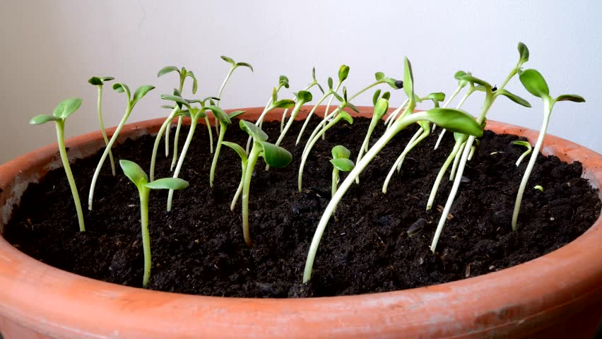 Time-lapse Footage Of Growing Small Sunflower Seeds. Stock ...