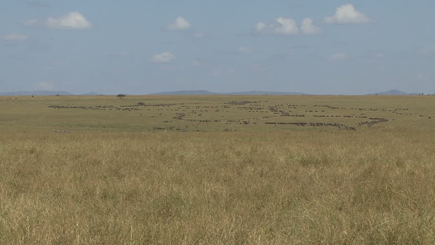 A large herd of wildebeest and zebra in the far distance on Plains of the Masai Mara - Kenya, Africa.  - HD stock footage clip