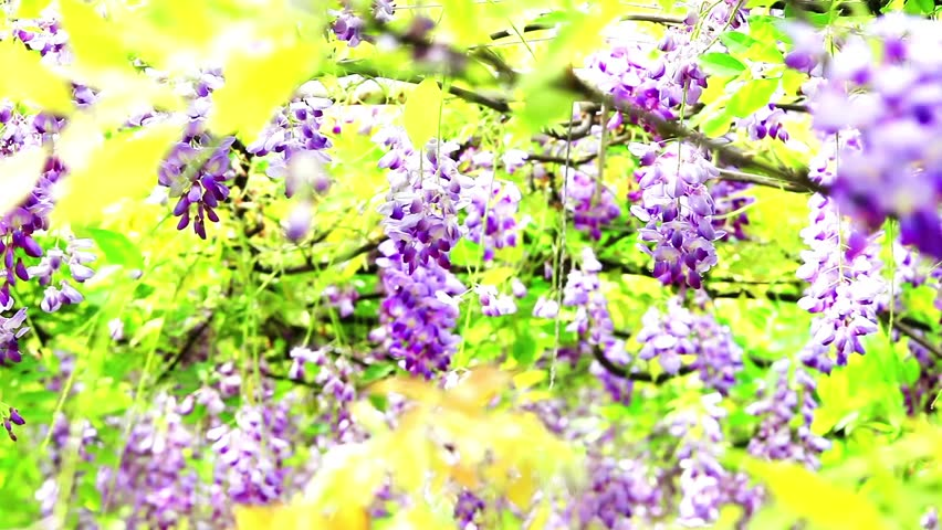 Wisteria Definition Meaning