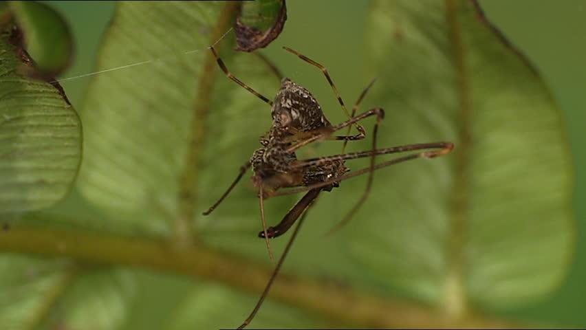 Archaeidae spider - SD stock footage clip