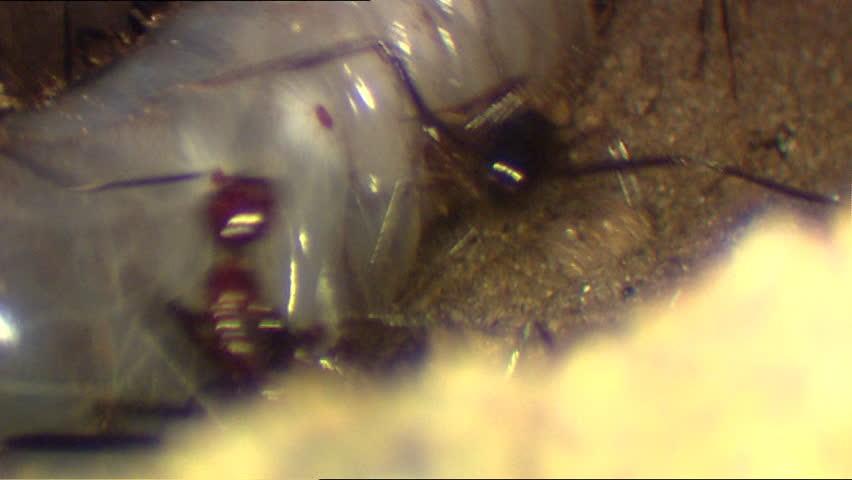 Aphaenogaster ant