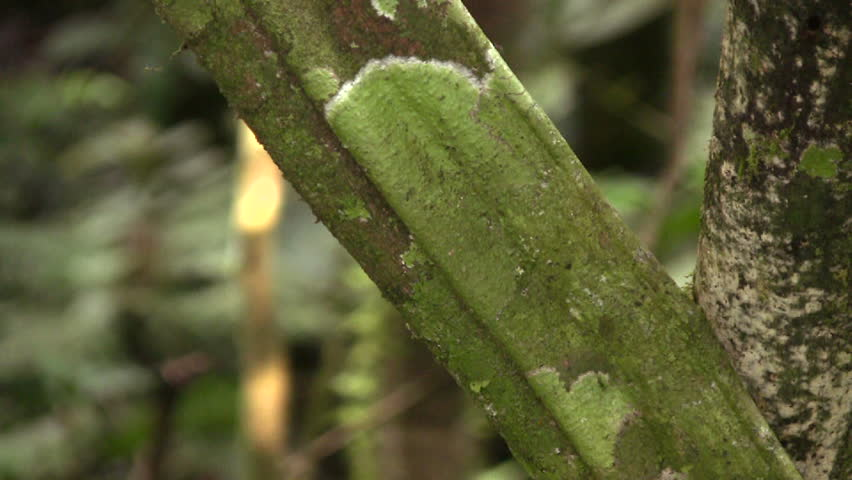 Curare vine (Chondrodendron tomentosum)  - HD stock footage clip