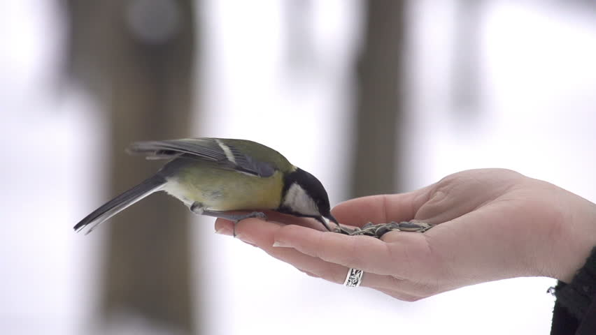 SLOW MOTION: Parus bird lands on hand and takes a seed