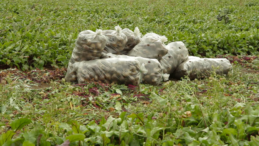 Shot of sacks full of beet lying on the field. - HD stock video clip