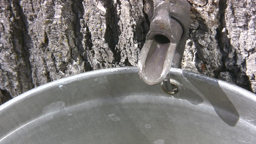 Dripping Sap Close Of A Maple Tree Tap For Collecting Maple Sap. Sound Included - HD stock footage clip
