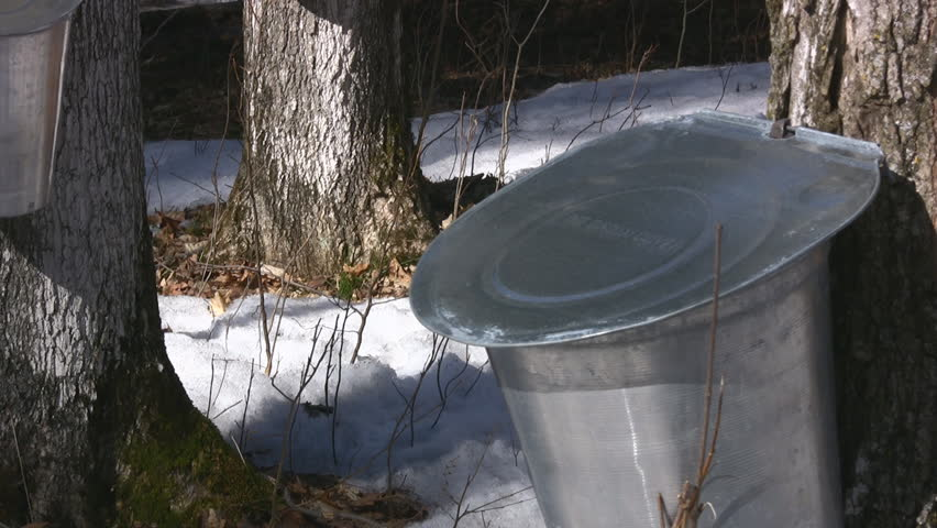 Woodland Area With Maple Trees Tapped To Harvest Sap For Maple Syrup - HD stock footage clip