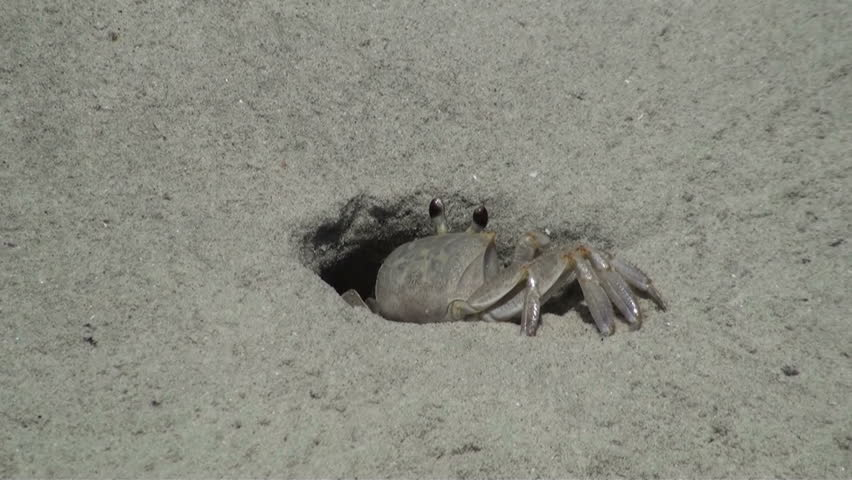 Tropical Island Beach Ambience Sound: Ghost Crab Coming In And Out Of His Hole In The Sand Stock