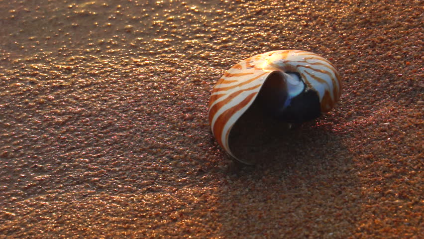 Nautilus shell on a sandy textured beach with waves.