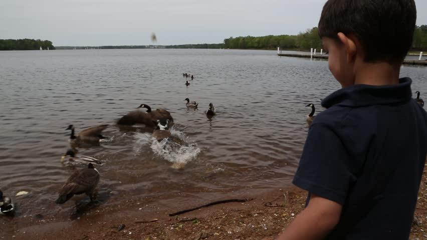 Male child feeding geese