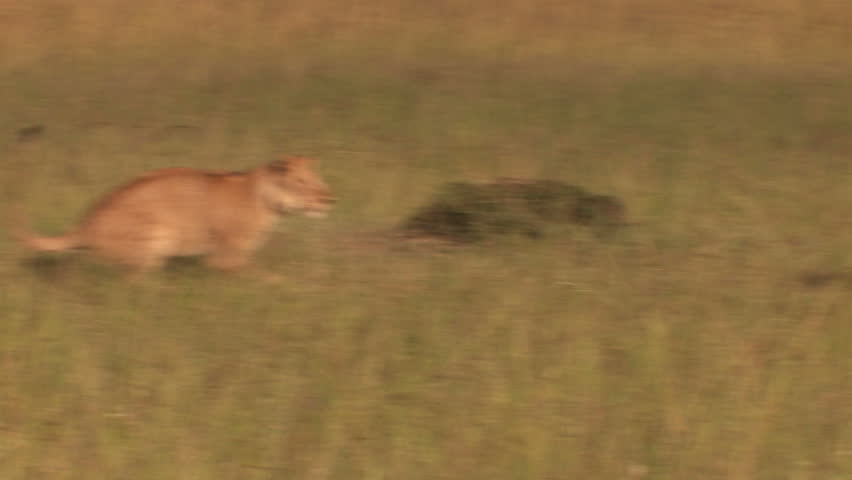 Lions in the high jump - Playing - HD stock video clip
