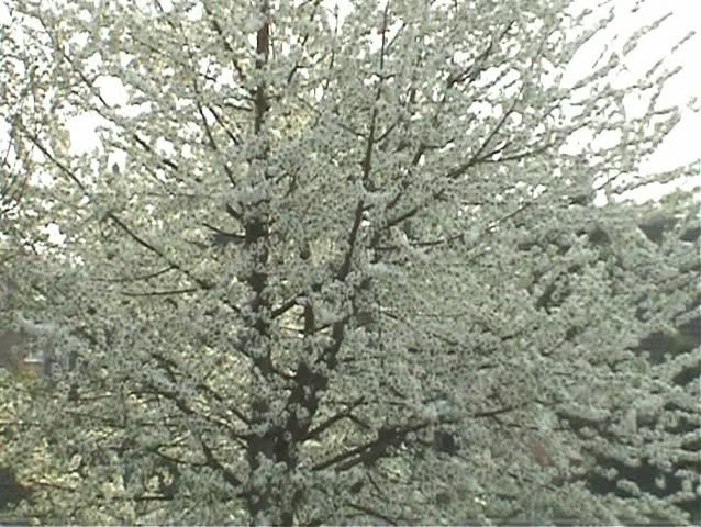 Zoom into a wild cherry tree in April